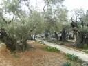 Le mont des oliviers<br />Jardin des oliviers aux portes de Jérusalem où le Christ pria une dernière fois avec ses apôtres avant la Passion.